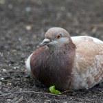 Lazy Pigeon 1 — Stock Photo