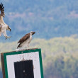 Juvenile Osprey landing — Stock Photo