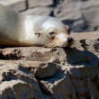 Stock Photo: Lazy Sealion on Rock