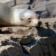 Lazy Sealion on a Rock — Stock Photo