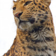 Stock Photo: Leopard watch 1