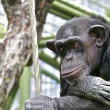 Stock Photo: Sad Chimpanzee