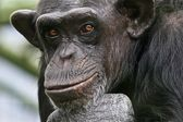 Chimpanzee Philosopher — Stock Photo