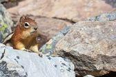 Cute Chipmunk 1 — Stock Photo