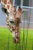 Giraffe mittagessen 3 — Stockfoto