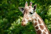 Giraffe Portrait 3 — Stock Photo
