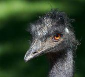 Grumpy Emu Bird 2 — Stock Photo
