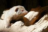Indian gray mongoose 1 — Stock Photo