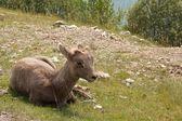 Juvenile big horn sheep — Stock Photo