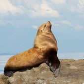 Pride and the Sea Lion — Stock Photo