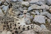 Snow Leopard 2 — Stock Photo