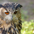 Eagle Owl Portrait 1 — Stockfoto