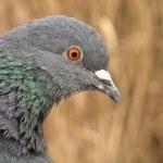 Pigeon closeup — Stock Photo #20178721