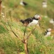 Atlantic Puffins — Stok video