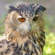 Royalty-Free Stock Photo: Eagle Owl on the watch