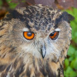 Lurking Eagle Owl — 图库照片
