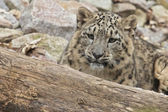 Lurking Snow Leopard — Stock Photo