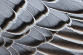Magellan Goose feathers — Stock Photo