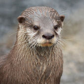 Small-clawed Otter portrait — Stock Photo