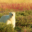 Polar Bear and Fire Weed 1 — Stock Photo