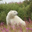 Polar Bear and Fire Weed 3 — Stock Photo