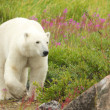 Polar Bear and Fire Weed 4 — Stock Photo