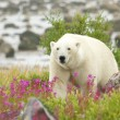 Polar Bear and Fire Weed 5 — Stock Photo