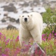 Polar Bear and Fireweed 1 — Stock Photo