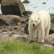 Polar Bear at the shore 1 — Stock Photo