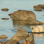 Polar Bear in the water 1 — Stock Photo