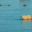 Polar Bear in the water 2 CP WB — Stock Photo