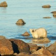 Polar Bear in the water 3 — Stock Photo