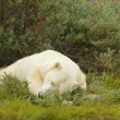 Polar Bear sleeping in the bush 1 — Zdjęcie stockowe