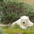 Sleepy Polar Bear 1 — Stockfoto
