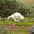 Tired Polar Bear 1 — Stockfoto