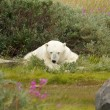 Tired Polar Bear 1 — Stock Photo