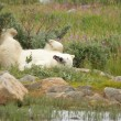 Wallowing Polar Bear 1 — Foto Stock