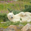 Wallowing Polar Bear 2 — Stock Photo