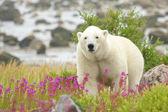любопытно полярный медведь, закрытие в вб — Стоковое фото