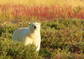 Isbjörn och brand ogräs 1 — Stockfoto