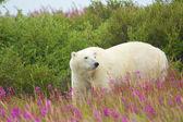 Isbjörn och brand ogräs 2 — Stockfoto