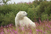Polar Bear and Fire Weed 3 — Stock Photo