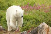 белый медведь и огонь сорняками 4 — Стоковое фото