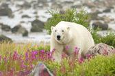 Isbjörn och brand ogräs 5 — Stockfoto
