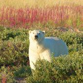 Ours polaire et le feu contre les mauvaises herbes sq wb — Photo