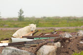 Polar Bear and Junk 1 — Stock Photo