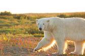 белый медведь в сумерках 1 — Стоковое фото