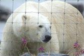 Isbjörn på staket 1 wb — Stockfoto