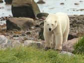 белый медведь на берегу 1 — Стоковое фото