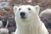 Polar Bear closeup portrait 1 WB LT — Stock Photo